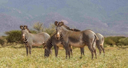 Grevy's zebra - a member of the Samburu Special Five