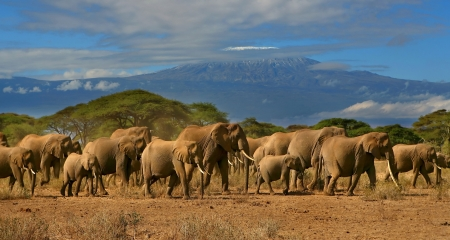 Elephants in Amboseli with Mount Kilimanjaro in the background