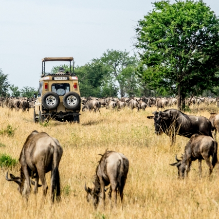 Game Drive in the Serengeti during the Great Migration