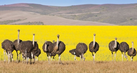 Oudtshoorn - the 'Ostrich Capital'of South Africa