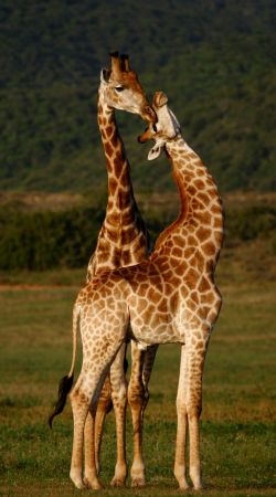 Male and Female giraffes flirting.