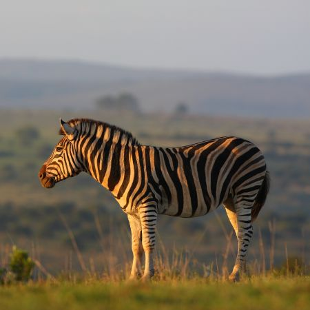 Zebra in the afternoon sun