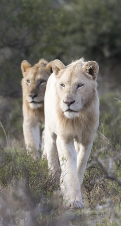 The white lions of Pumba