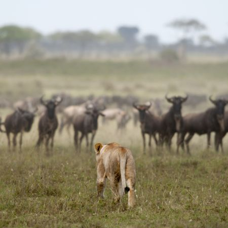 Lion on the prowl towards the wildebeest