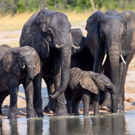 Elephants drinking at Waterhole in Hwangwe