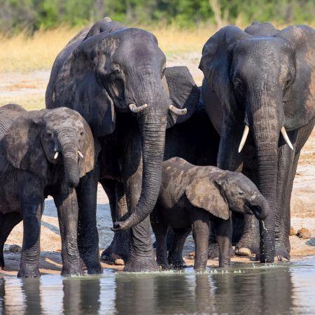 Elephants drinking at Waterhole in Hwangwe