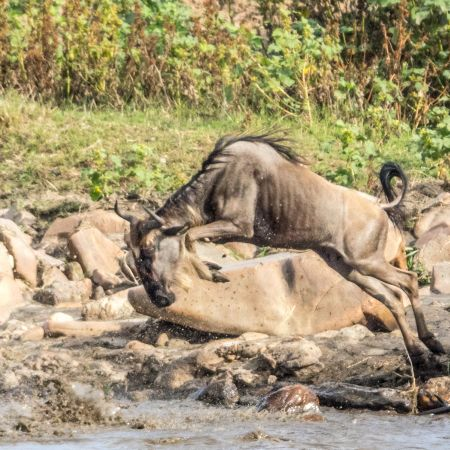 Wildebeest taking a Leap of Faith into the River