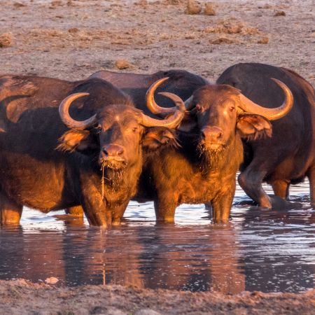 Buffalo in a waterhole at sunset