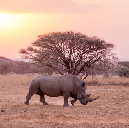 Rhino at Sunset, Marataba, South Africa