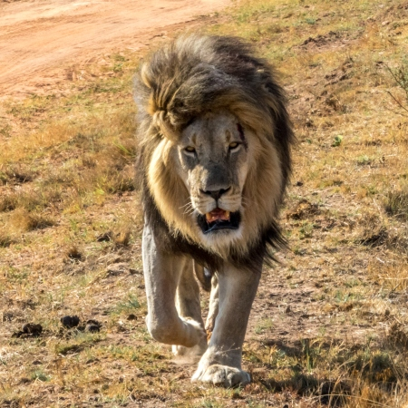 Male lion approaching