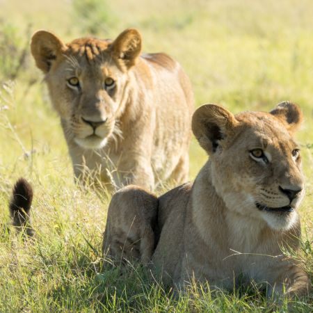 Lions in the Okavango Delta