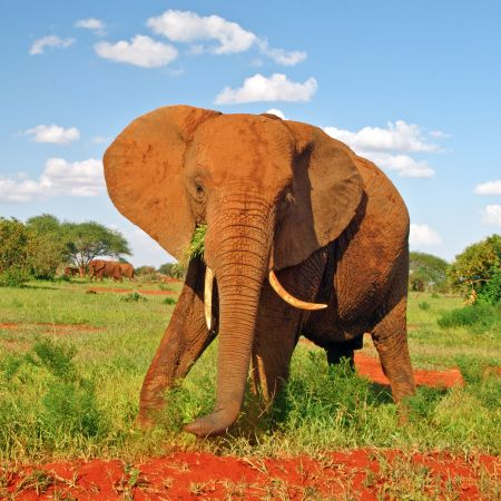 Tsavo Red Elephant
