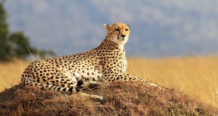 Cheetah in the Masai Mara