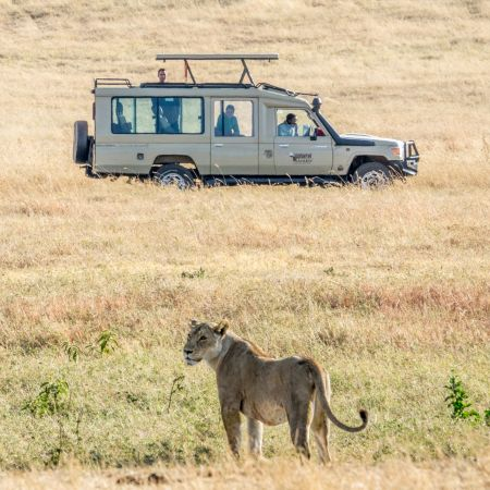 Game Drive Sighting of a Lion