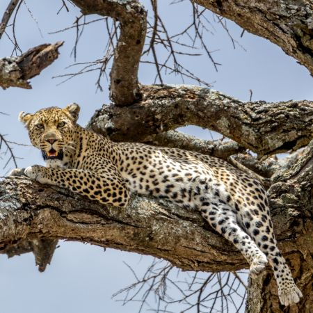 Leopard, Central Serengeti