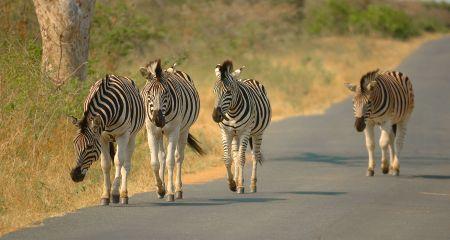 Zebra walking in the road...but not crossing.