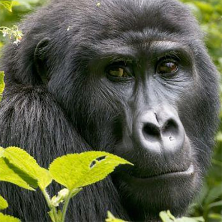 Look a gorilla in the eye in Rwanda or Uganda