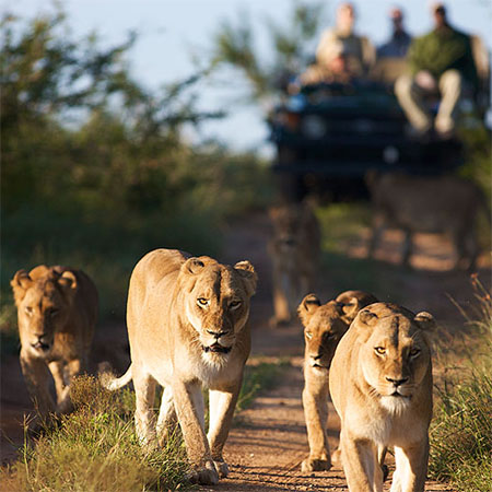 Tracking a pride of lions in Kruger.