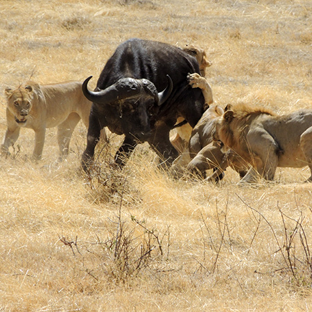 The Ngorongoro Crater has the greatest concentration of large mammals in Africa
