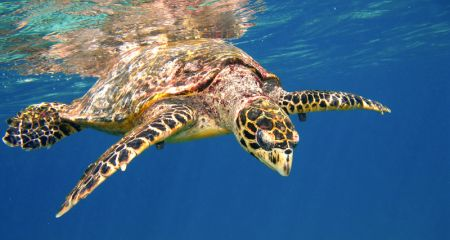 Turtle swimming in the Indian Ocean