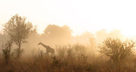 Giraffe in the morning mist.