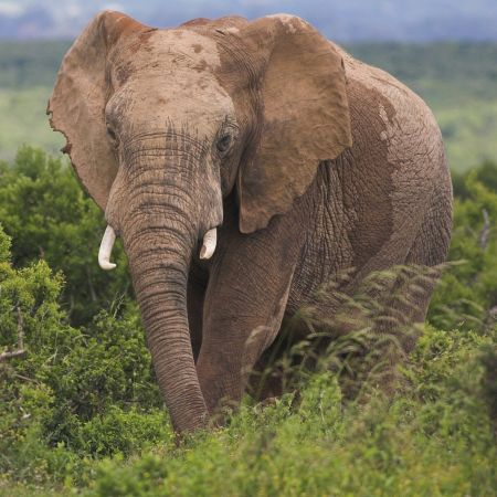 African Elephant, Eastern Cape.