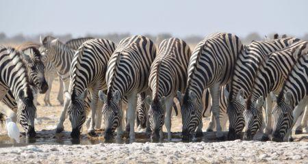 Zebra Drinking In Etosha