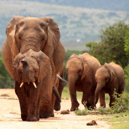 Addo has one of the highest density populations of elephants in Africa.