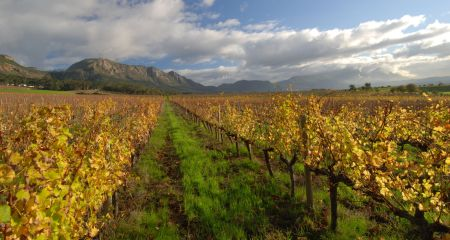 Vineyards in the Cape Winelands.