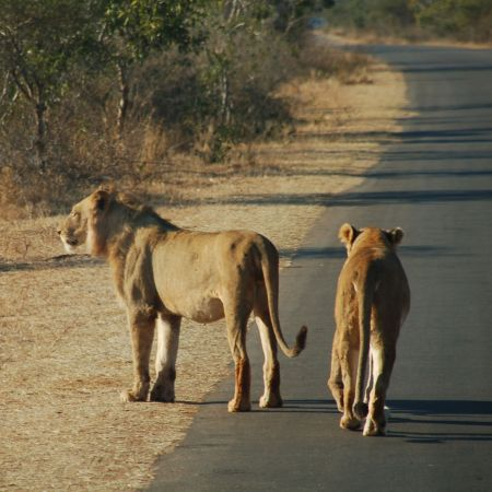 Lions on the road in Kruger.