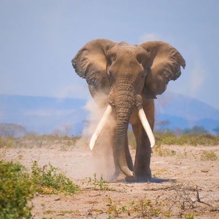 Elephant In East Africa