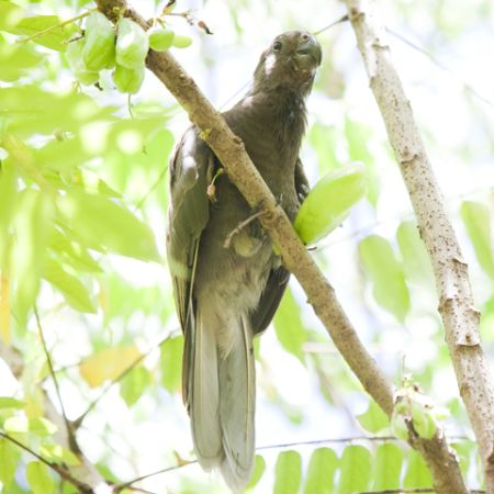 A rare Seychelles black parrot