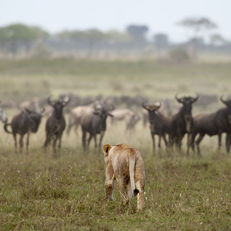 Lion stalking the Great Migration