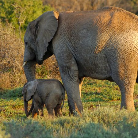 Elephant with her young baby.