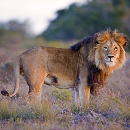 Male lion in the afternoon sun.