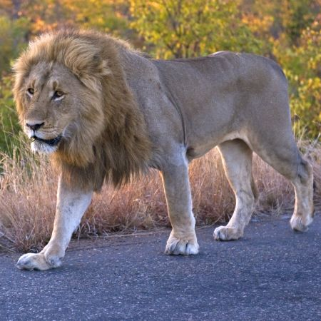 Male lion making use of a road to get around Kruger.