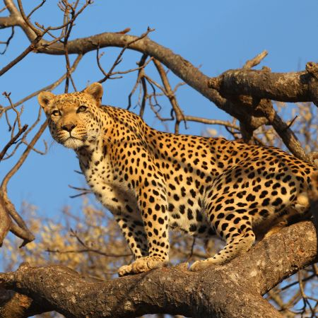 Sabi Sand is famous for its leopard sightings.