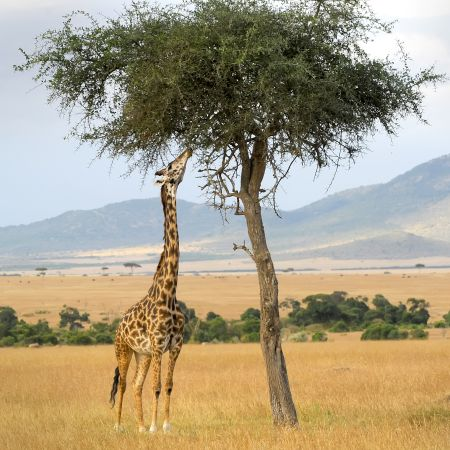 Girraffe on the plains of the Masai Mara