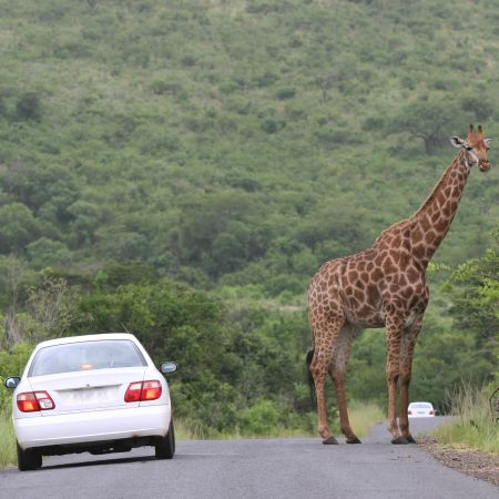 A male giraffe blocks the road.