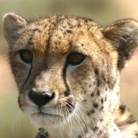 Samara is well known for its population of cheetah.