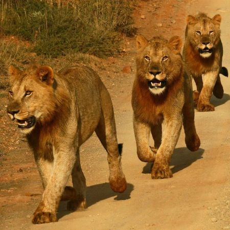 Young lions on a gravel road.