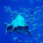 Shark in the blue ocean.