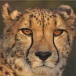 Male Cheetah at Okonjima