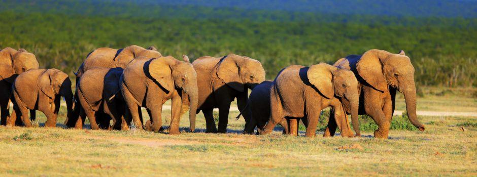 Elephants in the Eastern Cape