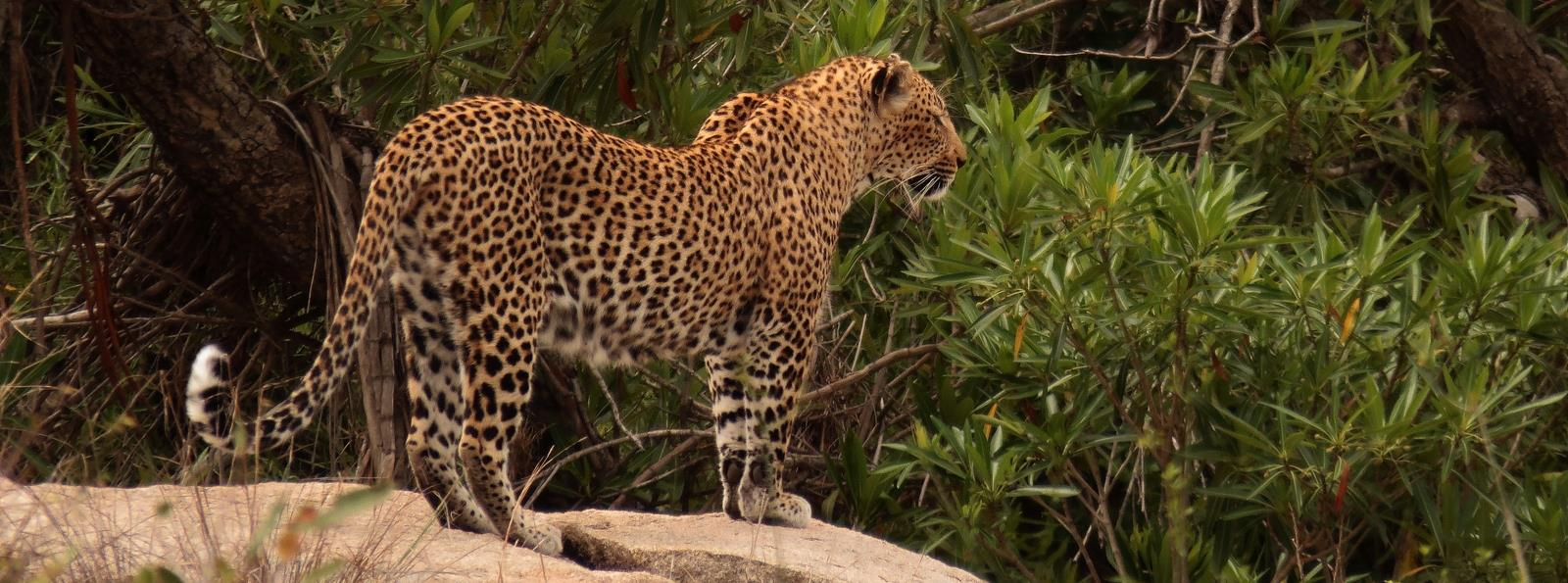 The Greater Kruger Park is the best place to see leopards in South Africa.
