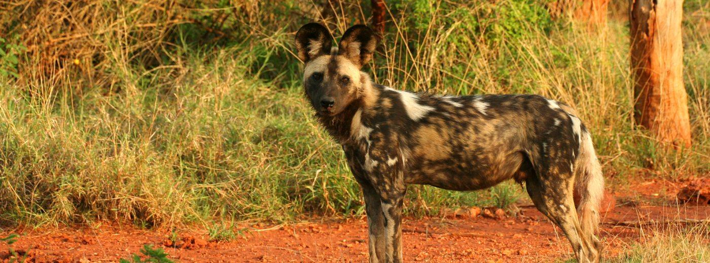 Facts about Wild Dog