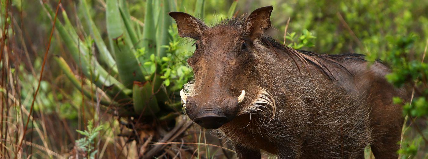 the warthog wildlife guide