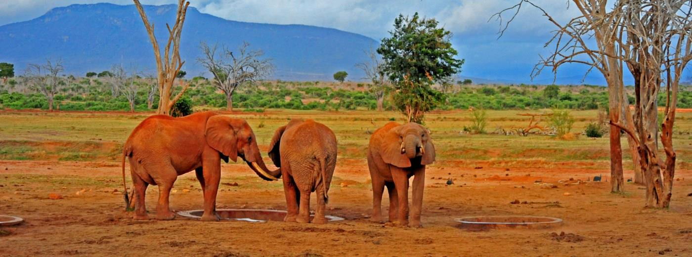 Image result for picture Tsavo elephants